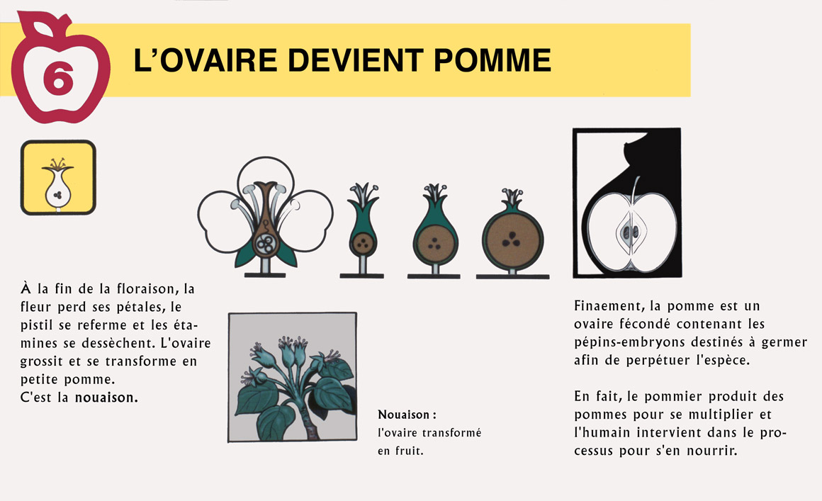 Reproduction Du Pommier Verger Le Gros Pierre